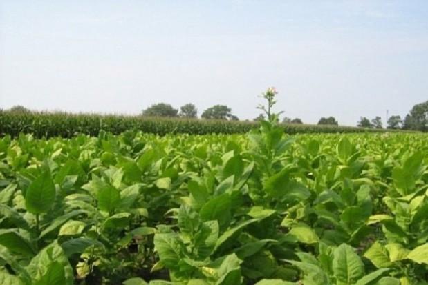 Nowe płatności bezpośrednie – do tytoniu i owoców miękkich