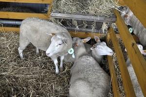 Pomoc dla hodowców owiec