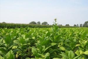 Produkcja tytoniu zagrożona