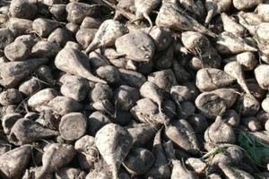 Nowe odmiany buraków cukrowych 2012