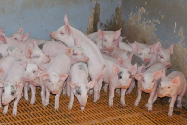 Spada pogłowie świń ale rośnie wydajność produkcji