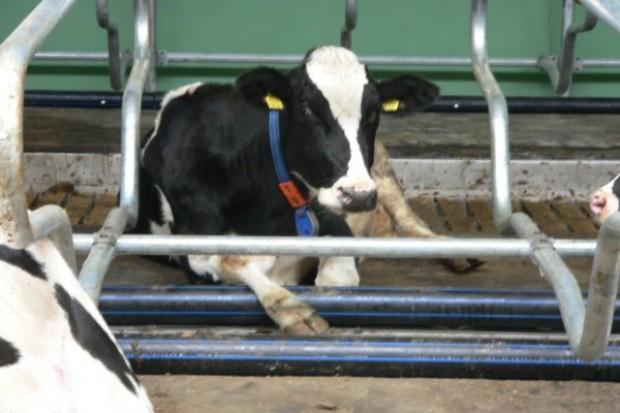 Przede wszystkim komfort krowy