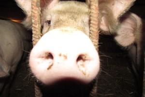 Znów skażenie wieprzowiny?