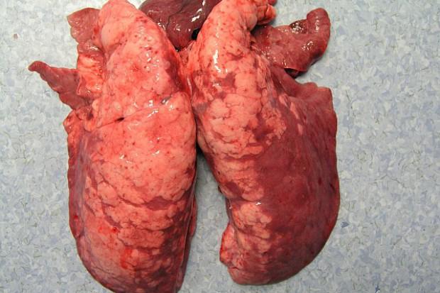Mykoplazmowe zapalenie płuc u świń