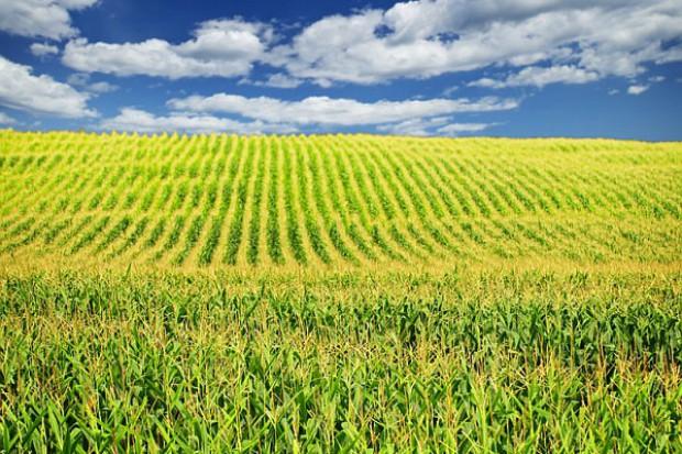 Nawożenie kukurydzy w monokulturze