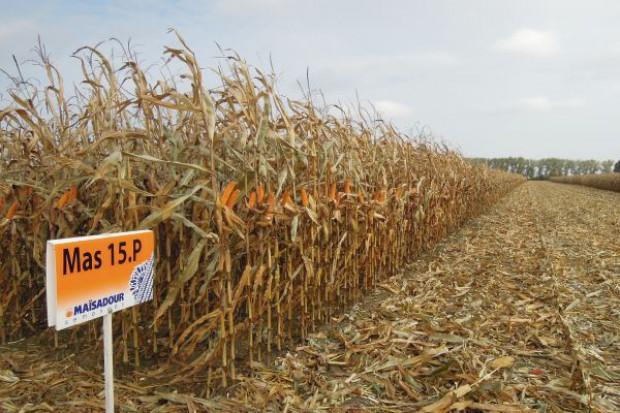 Bardzo sucha odmiana kukurydzy
