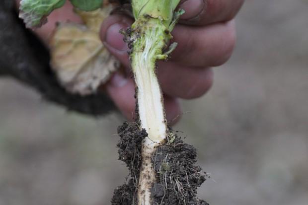 Jak ocenić kondycję rzepaku i zbóż po zimie