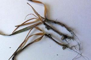 Czym przesiewać oziminy - pamiętaj o następstwie roślin