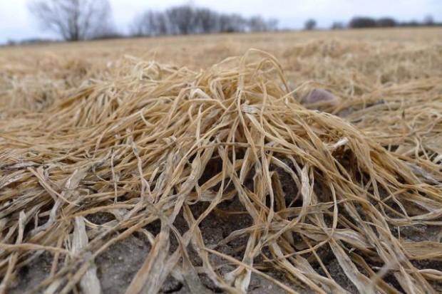 Nawet mln ha zbóż nie przezimowało