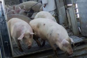 Białoruś nie chce unijnego bydła i żywca wieprzowego