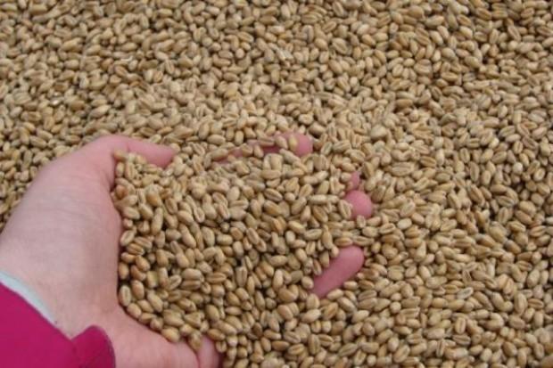 Trwają już zapisy na kwalifikat zbóż ozimych
