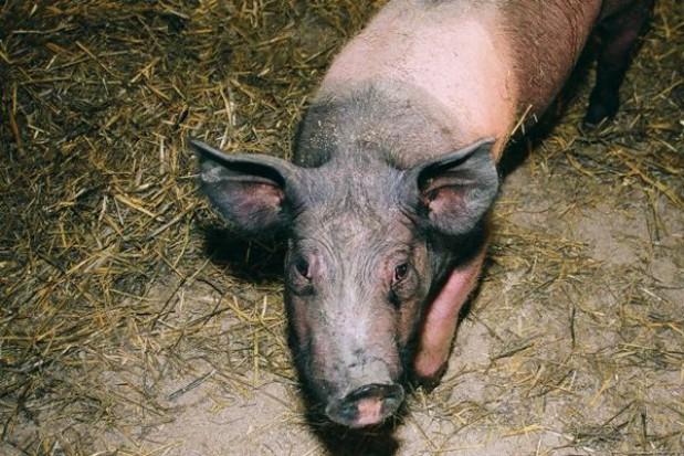 Zakaźne zanikowe zapalenie nosa świń