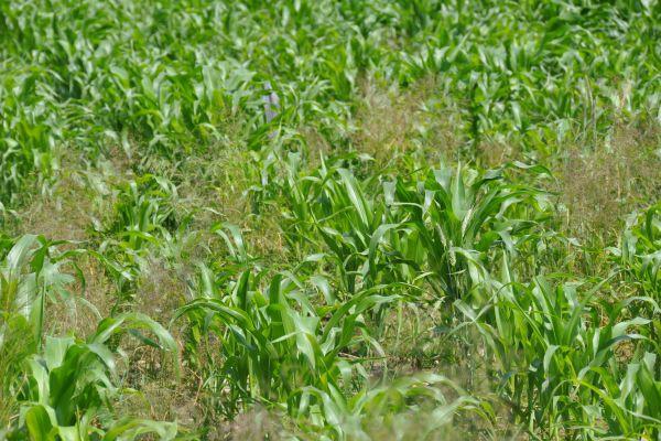 Krytyczne czynniki w uprawie kukurydzy