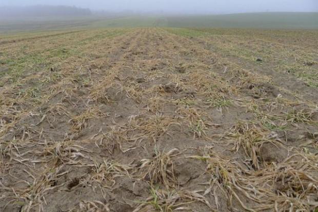 KFPZ: Mln ha zbóż do zaorania - gminy są zagubione