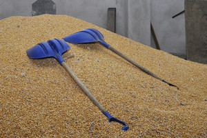 Rekordowe notowania kukurydzy i rzepaku