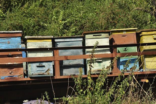 Pszczoły zabijane przez roztocza