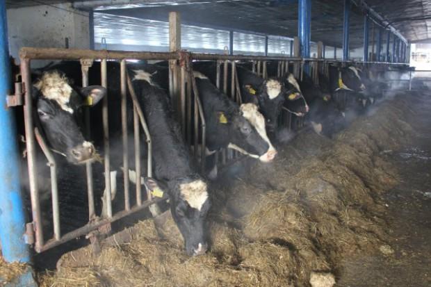 Innowacyjny produkt na stres cieplny u bydła