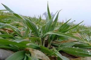 Mączniak i łamliwość w pszenicy