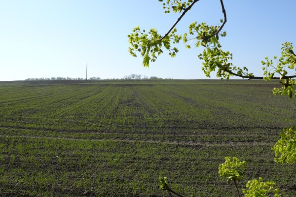 Odchwaszczanie zbóż jarych