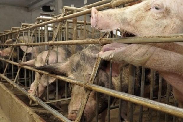 Rosną ceny wieprzowiny w UE