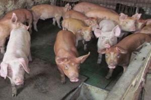 Duży wzrost eksportu wieprzowiny