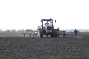 Siewy kukurydzy bardzo zaawansowane
