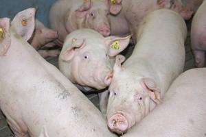 Pogłowie świń zadecyduje o zdobyciu rynku koreańskiego
