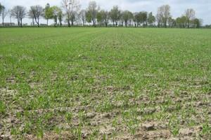 Nie można w tym roku zaniedbać zbóż jarych