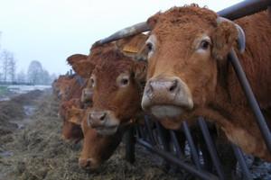 Trudno zorganizować produkcję wołowiny