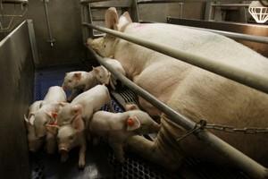 Ponad 1,6 mln świń mniej w sektorze prywatnym