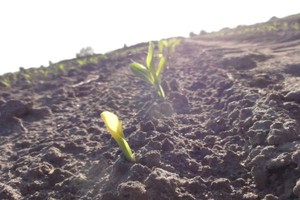 Chwasty mają się dobrze w kukurydzy