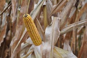 Bezpieczna odległość od upraw GMO