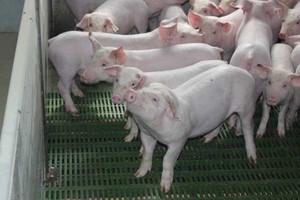 ZM Salus nie obawiają się niskiego pogłowia świń
