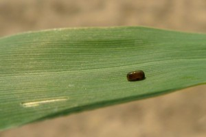 Podlaskie pola pełne szkodników