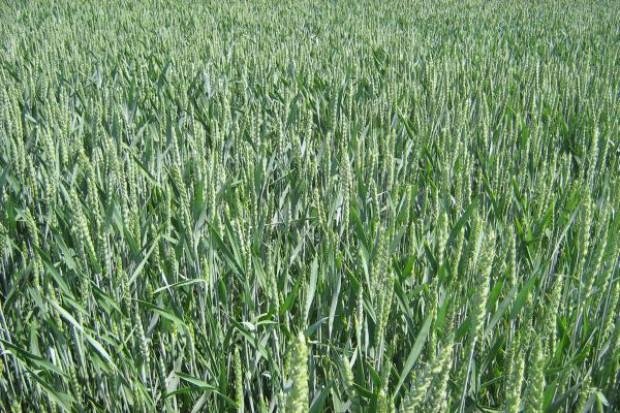 COBORU: Ocena zimotrwałości zbóż