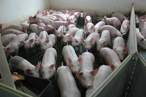 Na Ukrainie brakuje wieprzowiny