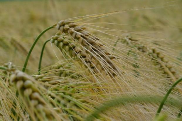Tański: Ceny zbóż ustabilizowały się na wysokim poziomie