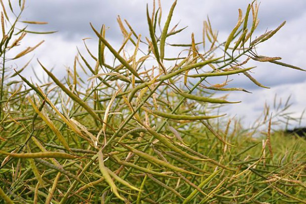 Zatrzymać nasiona w łuszczynach