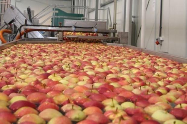 Jabłek jednak więcej niż w roku ubiegłym