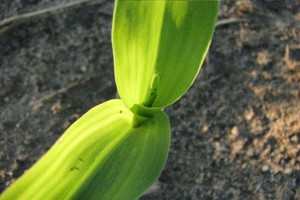 Mszyce i wciorniastki już w kukurydzy