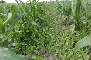 Kukurydza w różnym stadium