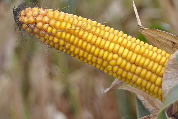 Pędząca kukurydza