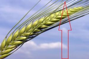 Rosja podniesie ceny zbóż w UE
