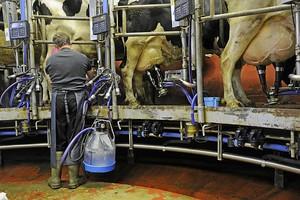 Indywidualne podejście do krów – więcej mleka