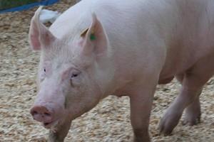 Rośnie eksport wieprzowiny