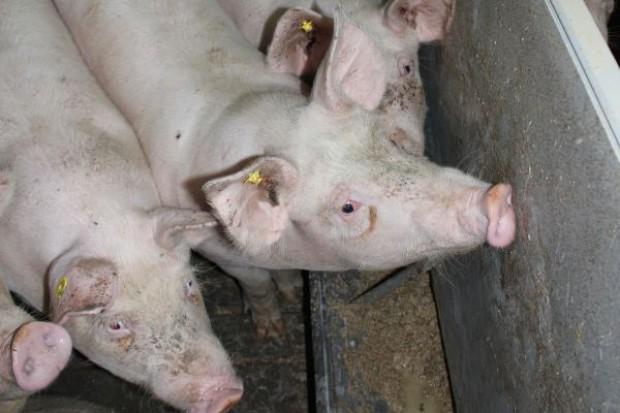 Przecena wieprzowiny
