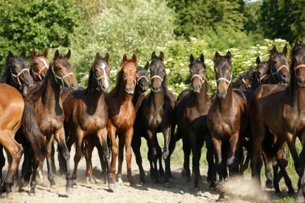 Najważniejsze zachowanie potencjału genetycznego koni