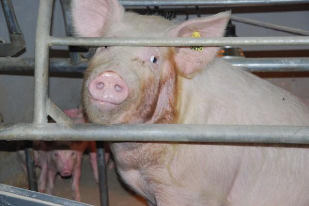 Program odbudowy pogłowia świń - najwcześniej w sierpniu