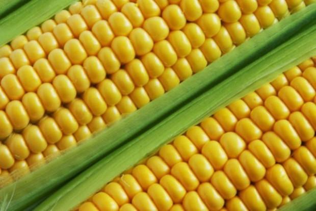 Kukurydza GMO do ponownego zbadania
