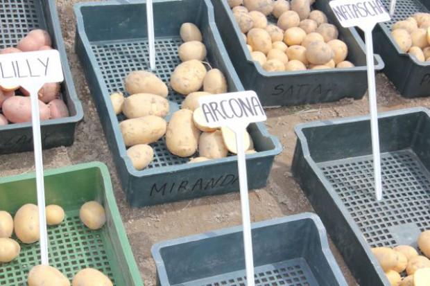Trudna sytuacja producentów ziemniaków